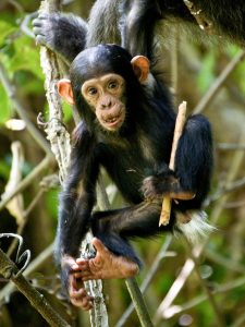 baby chimpanzee sitting in a tree holding a stick in one hand up over her shoulder