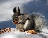 a squirrel holding a small pine cone in its hands and nibbling at it