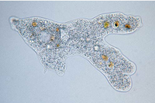 amoeba - an irregular blob, mostly transparent, with smaller transparent and yellow blobs inside it
