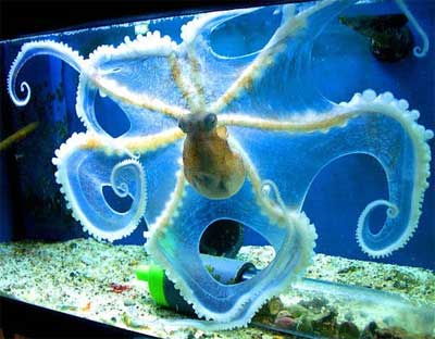 an octopus spread out in the water glowing yellow and blue