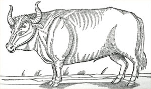 drawing of an aurochs
