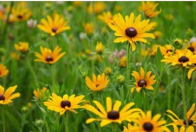 field of black-eyed susan flowers with yellow petals and black centers