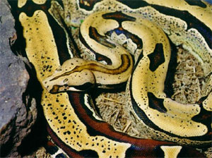 a big black and yellow snake