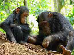 two chimpanzees - small, with longish dark hair and long thin arms and legs - sit on the ground together, looking at something on the ground in the forest - one chimpanzee is picking something up