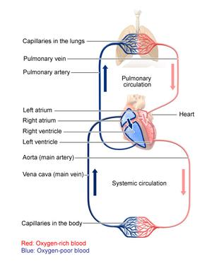 A diagram showing how blood goes to the lungs to get air and then back to the heart to be pumped all over your body
