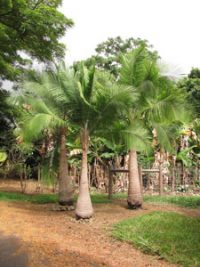 a group of trees with thick trunks