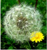 a dandelion that has gone to seed, with a younger flowering yellow dandelion next to it