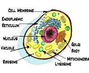 Biology cells plants and animals quatr study guides diagram of the parts of a cell ccuart Images