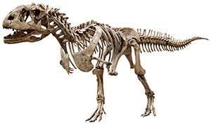 dinosaur skeleton of a Tyrannosaurus Rex