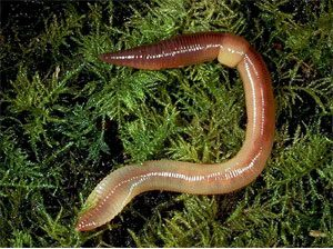a brown earthworm on the grass