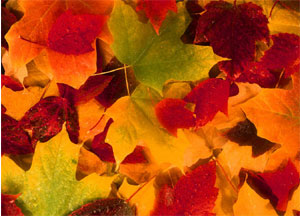 red, yellow, and green maple leaves