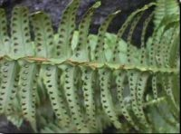 fern spores - small brown dots on the underside of fern leaves