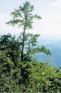Gingko trees, thin and feathery, growing on a steep hillside in the mist