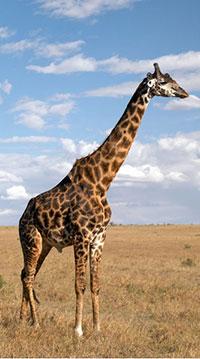photo of a giraffe in dry grassland