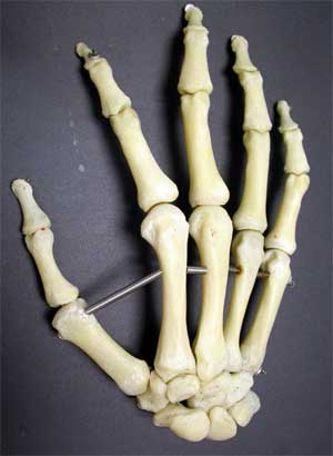 skeleton of a human hand