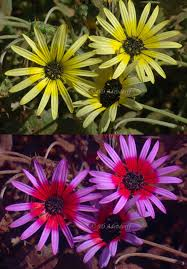 top image of flowers with plain yellow petals. Bottom image of flowers with bright purple and red petals.