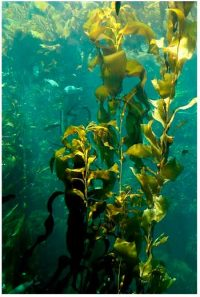 kelp underwater - tall thin plants with leaves
