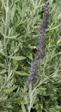 lavender plant with gray-green leaves and purple flowers