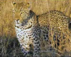 A leopard with dark spots concealed in tall grass