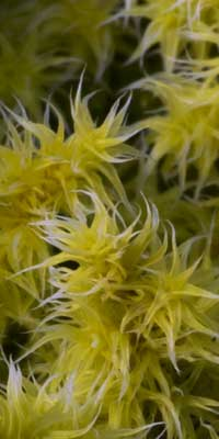 moss close up - looks like yellow spiky flowers