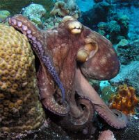 octopus in the ocean