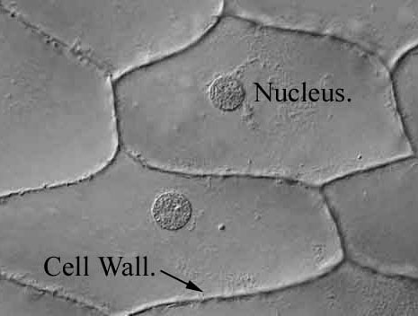 "cells through a microscope: gray interlocking shapes with indented circles in each one labelled ""Nucleus"""