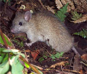 photo of a small rat