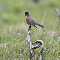 A robin sits on a branch