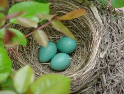 a bird's nest with three small blue eggs in it