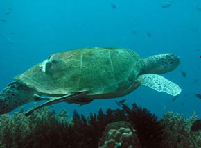 A turtle swimming over seaweed