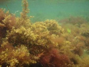 seaweed underwater - greenish brown like small bushes