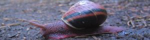 A snail with a red and black shell
