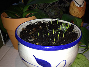 growing seedlings in a clay pot full of dirt