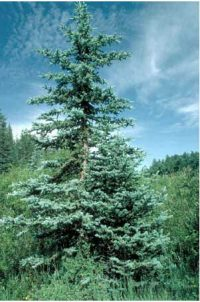 spruce tree - a green pine tree growing in an open area outside