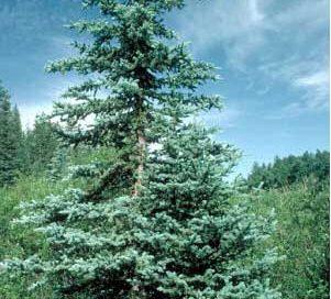 spruce tree - a green pine tree growing in an open area outside