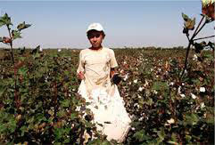 Uzbek child picking cotton in the cotton fields