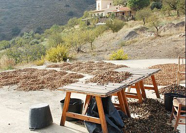 Almonds drying after harvest (Southern Spain)