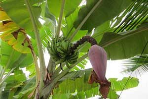 Bananas growing on a banana tree