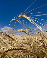 A field of golden barley in a blue sky
