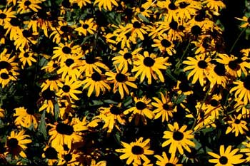 Wild sunflowers: yellow petals with black centers