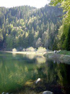 Pine trees and a lake