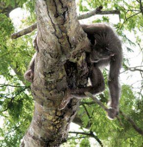 Chimpanzee smashing a beehive to get honey
