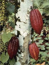 Cocoa pods grow right from the trunk of the cocoa tree! (Thanks World Cocoa Foundation)