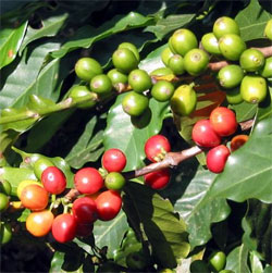 Coffee beans growing on a coffee bush