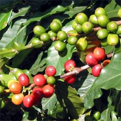 Coffee beans growing on a coffee bush