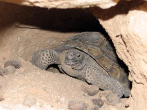 turtle under a big rock in a dry place