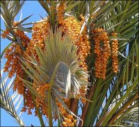 spiky green palm leaves with garlands of orange date clusters