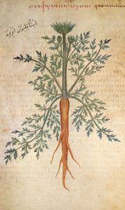 Early orange carrot (Vienna Dioscurides, ca. 512 AD)