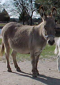 A donkey - like a horse, but shorter and fatter, with longer ears