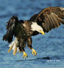 An eagle over the water